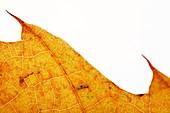Backlit autumnal leaf