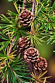 European larch cones
