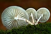 Porcelain mushroom (Oudemansiella mucida)