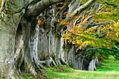Beech trees (Fagus sp.)
