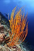 Orange whip coral
