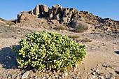 Gravel plain vegetation,Namibia