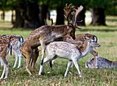 Fallow deer mating
