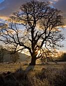 Oak tree (Quercus sp.) in Winter