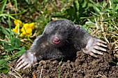 European mole emerging from its burrow