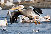 Great white pelican landing