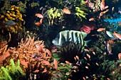 Six-banded angelfish