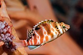 Spotted hawkfish
