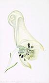 Wolfsbane (Aconitum lycoctonum),artwork