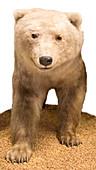 Grizzly-polar bear hybrid specimen