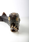 Deep-sea dragonfish specimen