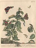 Red admiral butterfly,artwork