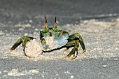 Ghost crab building a sand mound
