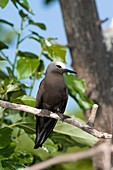 Lesser noddy in a tree