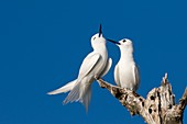 White terns in a tree