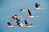 Greater flamingoes