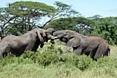 African Bush Elephants locking tusks