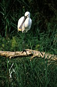 Common spoonbill on a branch