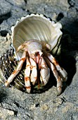 Spotted hermit crab in a conch shell