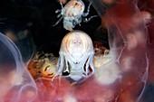 Amphipods inside a moon jellyfish