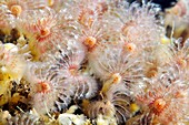 Polychaete marine worms