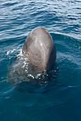 Sperm whale spyhopping