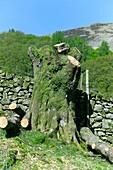 Pollarded alder tree