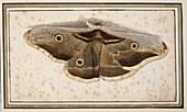Emperor moth,artwork