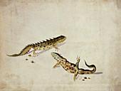 Salamanders,artwork
