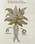 Mandrake plant,17th century