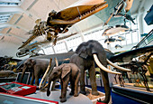 Natural History Museum's Mammal Gallery