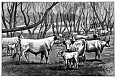 Wild cattle herd,19th century