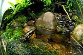Harlequin toad in a vivarium