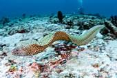 Blackspotted moray eel