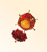 Adenovirus structure,artwork