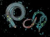 Caenorhabditis elegans and bacteria