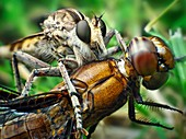 Robber fly with its prey