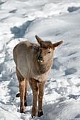 Young elk in snow