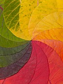 Autumn Leaf Colour Wheel