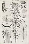 Botanical illustrations,17th century
