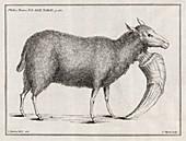 Mutant sheep,18th century