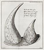 African rhinoceros horns,18th century