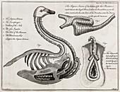 Swan anatomy,18th century
