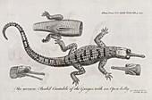 Gharial anatomy,18th century