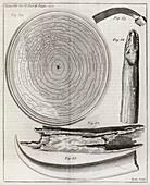Elephant tooth anatomy,18th century