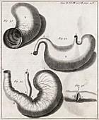 Marmot digestive system,18th century