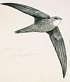 Pallid Swift,artwork
