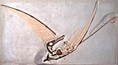 Rhamphorhynchus pterosaur fossil