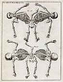 Conjoined twin skeletons,18th century