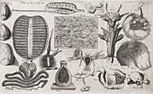 Biological illustrations,17th century